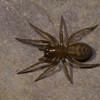 Callobius bennetti, Amaurobiidae (Hacklemesh Weavers)<br /> 7794, St-Hugues, Quebec, 11 mai 2011