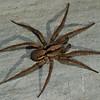 Gladicosa gulosa , (Wolf Spiders) <br /> 4394, St-Hugues, Quebec, 2 septembre 2011