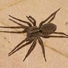 Gladicosa sp. Lycosidae<br /> 0278, St-Hyacinthe, Quebec, 9 aout 2012