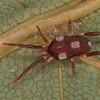 Leptus sp. Leptinae. Erythraeidae<br /> MG 4508, St-Hugues, Quebec,15 avril 2013