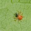 Anystis sp.  Whirligig Mites, Anystidae<br /> 3781, Granby, Quebec, 28 juin 2017