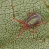 Balaustium sp. Balaustinae, Erythraeidae<br /> MG 6961,St-Hugues, Quebec,2 Juillet 2012