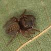 Chinattus parvulus femelle (Habrocestum parvulum ) Hasariini ,id.Claude Simard<br /> MG 2209, St-Hyacinthe ,Quebec, 12 septembre 2012