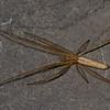 Tetragnatha straminea<br /> 6577, Parc les Salines, St-Hyacinthe, Quebec<br /> 9 mai 2011