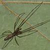 Tetragnata guatemalensis male,id Claude Simard 0027 ,Contrecoeur,Quebec,7 Juillet 2012