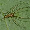 Tetragnathidae sp. <br /> 2944, St-Hugues, Quebec, 5 juin 2011