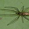 Tetragnatha elongata<br /> 2193, St-Hugues, Quebec, 3 juin 2011