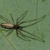 Tetragnathidae sp. <br /> 1597, Mirabel, Quebec, 1 juin 2011