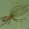 Tetragnathidae sp. <br /> 2819, St-Hugues,Quebec, 16 aout 2011