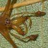 Tetragnata shoshone male,id Claude Simard 0071.1 ,Contrecoeur,Quebec,7 Juillet 2012