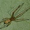 Tetragnathidae sp. <br /> 2850, St-Hugues,Quebec, 16 aout 2011