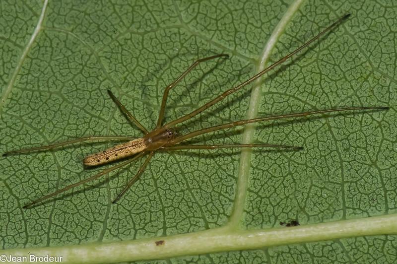 Tetragnatha straminea<br /> 3457, Parc les Salines, St-Hyacinthes, Quebec,<br /> 23 aout 2011