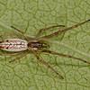 Tetragnatha laboriosa, <br /> MG_8334, La Prairie, Quebec, 17 aout 2011