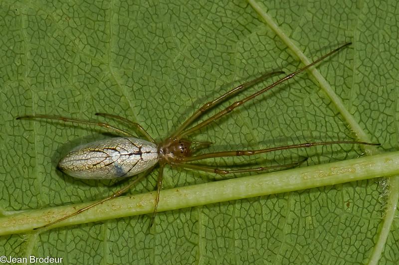 Tetragnatha laboriosa, Silver longjawed orbweaver<br /> 8053, St-Hugues,Quebec, 19 juillet 2011