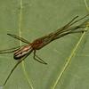 Tetragnatha versicolor femelle, id, Claude Simard<br /> 9370 ,St-Hugues , Quebec,30 mai 2012
