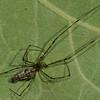 Tetragnathidae sp. <br /> 2711, St-Hugues, Quebec, 16 aout 2011