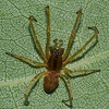 Pachygnatha sp<br /> 3750, St-Hugues, Quebec, 27 aout 2011