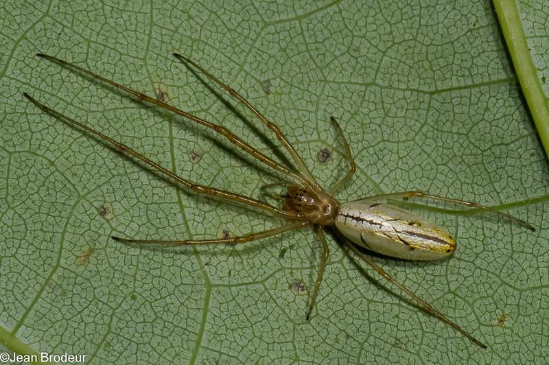 Tetragnatha laboriosa<br /> 3701, Parc les Salines,St-Hyacinthe,Quebec,<br /> 10 juin 2011