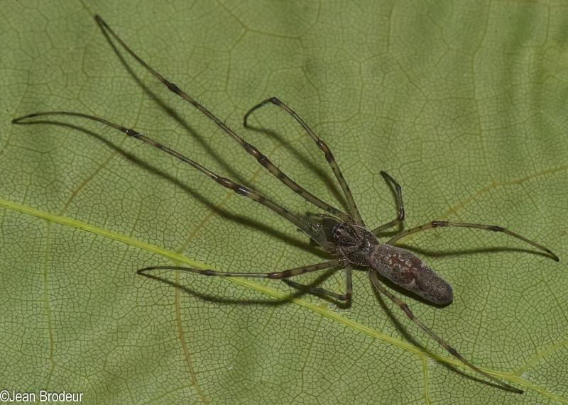 Tetragnatha guatemalensis femelle immature<br /> 9203 ,St-Constant, Quebec,23 mai 2012