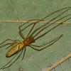 Tetragnata extensa femelle, id Claude Simard <br /> 0039 ,Contrecoeur, Quebec, 7 Juillet 2012