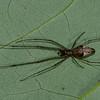 Tetragnatha versicolor<br /> 3177, Parc les Salines, St-Hyacinthe, Quebec,<br /> 7 juin 2011