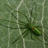 Tetragnatha viridis  <br /> 1343, Terrebonne, Québec, été 2010