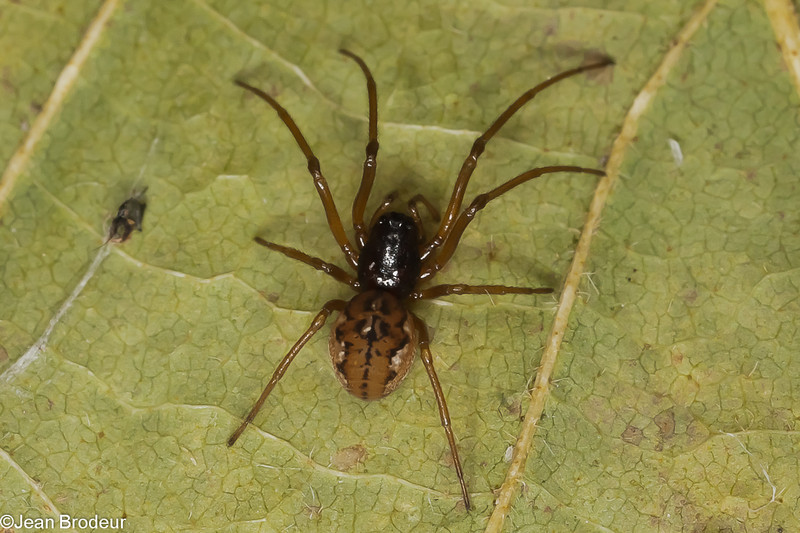 Pachygnatha xanthostoma femelle immature , id, Claude Simard<br /> MG 0377, La Prairie, Quebec,18 avril 2012