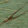 Tetragnata elongata male,id Claude Simard <br /> 9883 ,St-Hugues,Quebec,2 Juillet 2012
