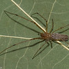 Tetragnatha sp. femelle immature,<br /> id.Claude Simard <br /> 0582, Boucherville ,Quebec,7 septembre 2012