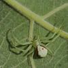 Misumena vatia, Thomisidae (Crab Spiders) <br /> 8459, Mirabel, Québec, été 2010