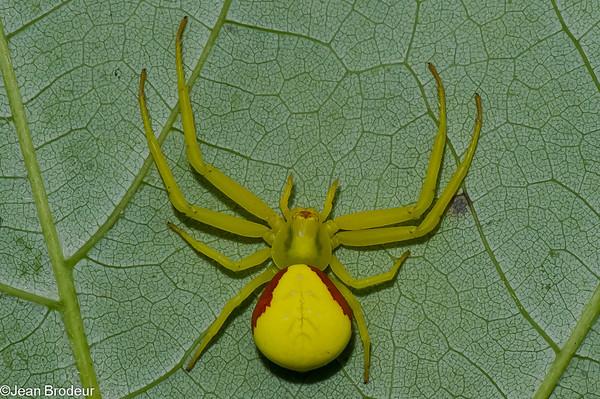 Famille Thomisidae - Araignees crabes