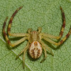 Mecaphesa asperata male<br /> 3021, St-Hugues, Quebec, 19 aout 2011