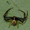 Misumena vatia male, Thomisidae<br /> 2867, Mont Rougemont, Quebec, 5 juin 2011