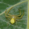 Misumena vatia, Thomisidae (Crab Spiders) <br /> 0617, Parc Les Salines, St-Hyacinthe, Québec, été 2010