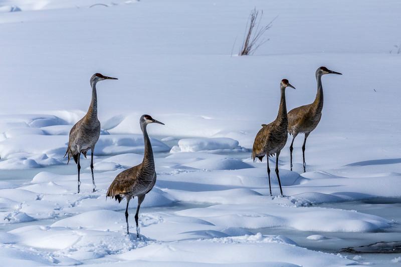 Sandhill Cranes in the Snow