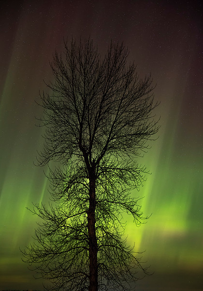 Northern Lights behind Ash Tree