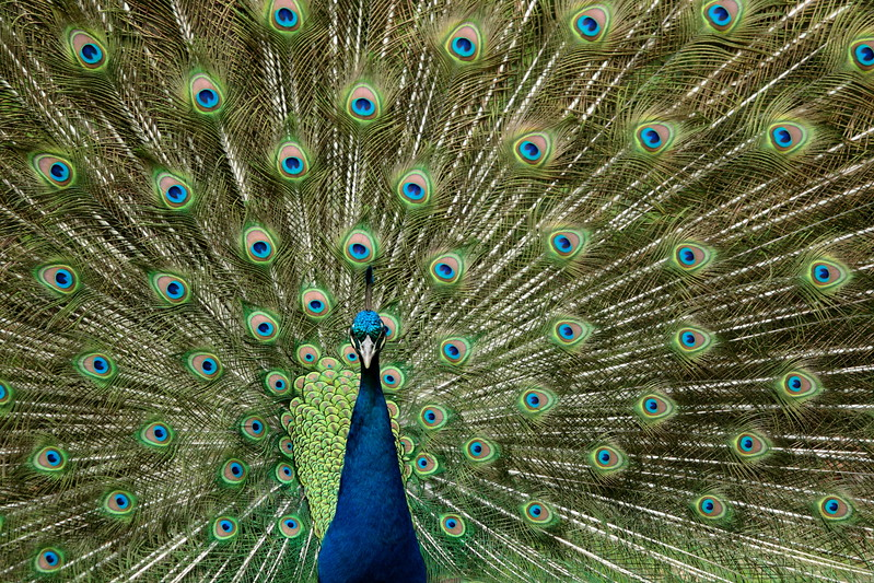 Resident Peacock of the Cathedral of St. John the Divine