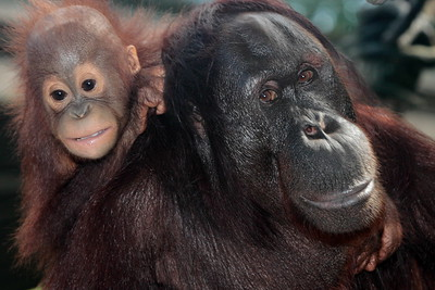 Orangutan mother and infant