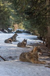 Les Loups du Mercantour