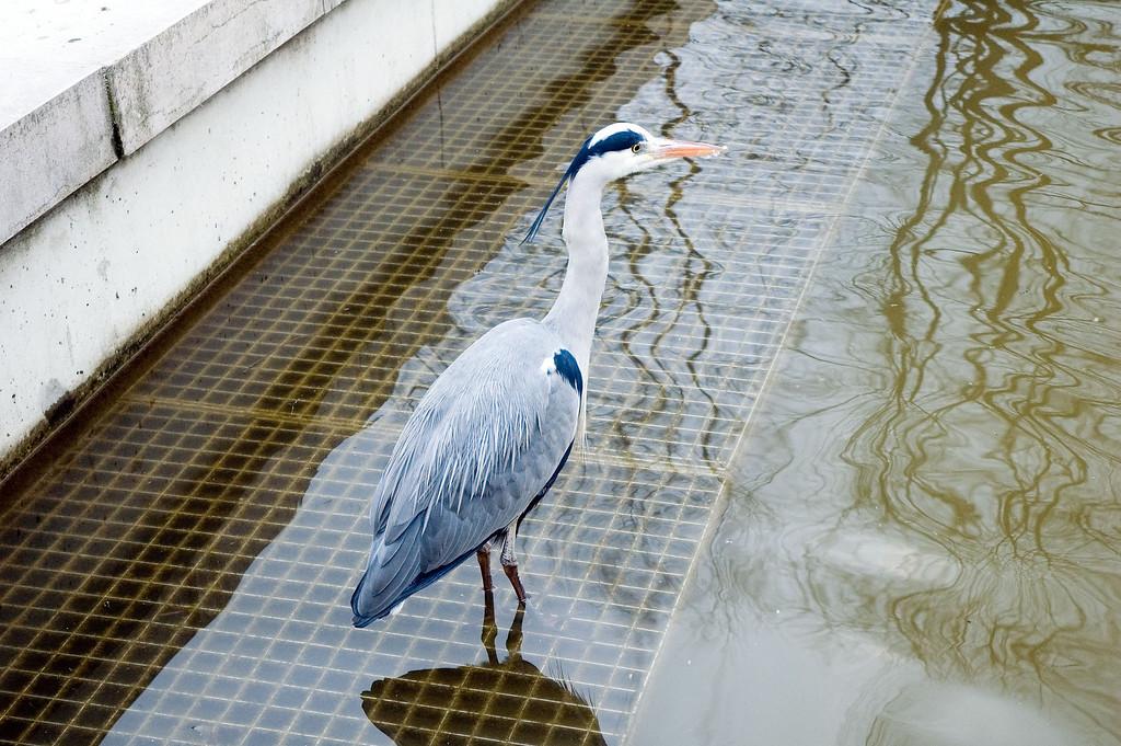 Heron les pieds dans l'eau