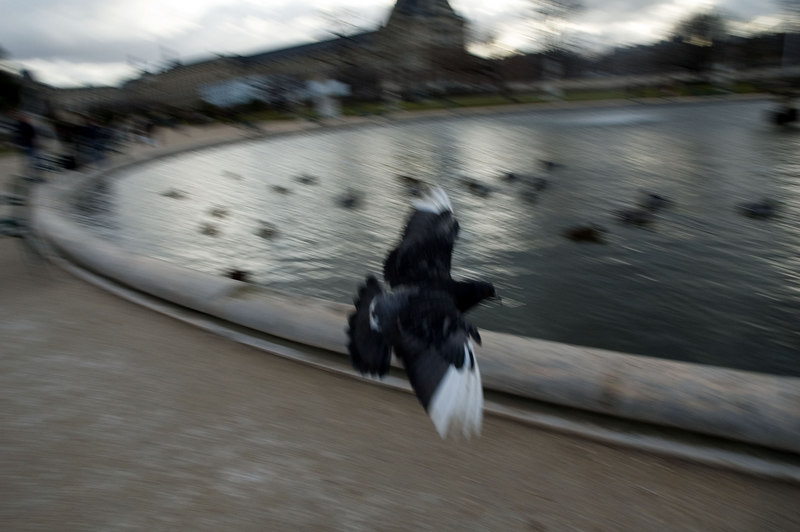 """A flying pigeon in the """"jardin des tuileries"""", next to the louvre"""