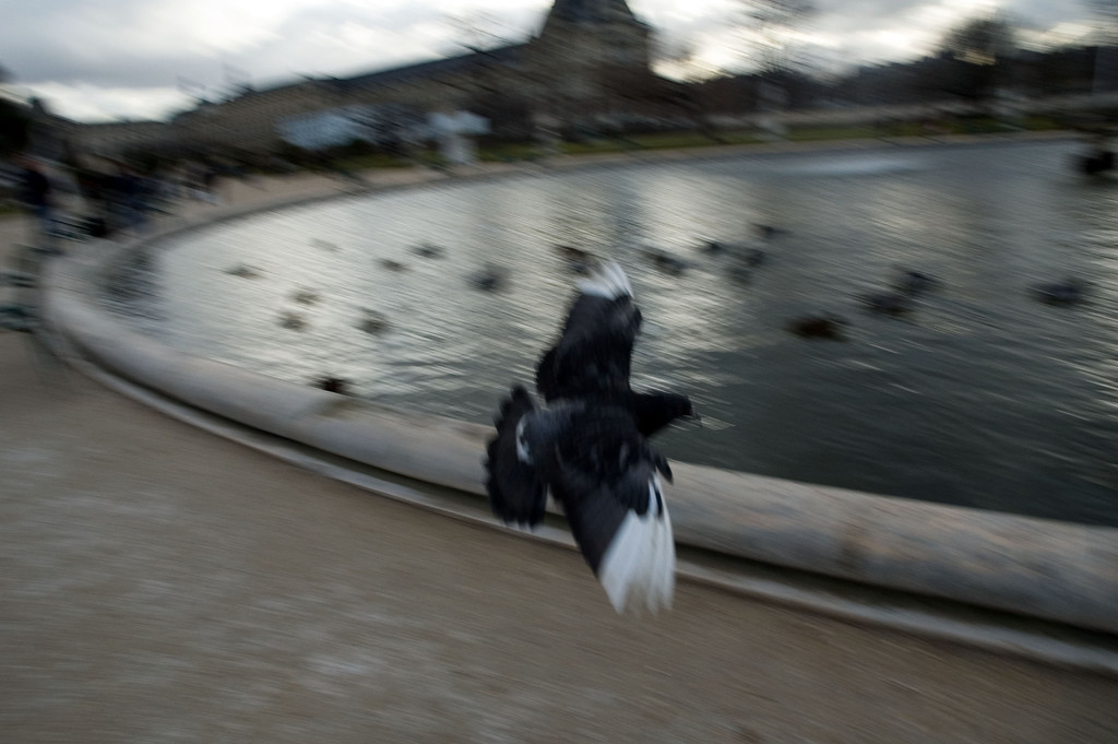 "A flying pigeon in the ""jardin des tuileries"", next to the louvre"
