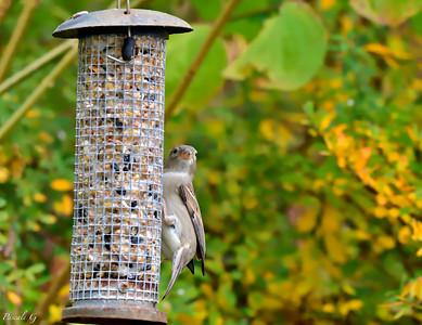 On the feeder; Sur la mangeoire