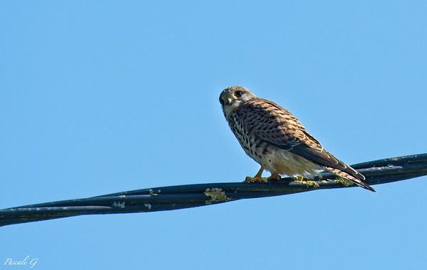 The Kestrel ; Le faucon crécerelle