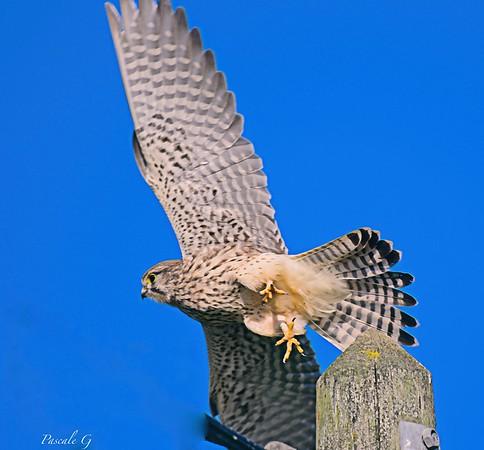 Female kestrel take off; Decollage d'un faucon crécerelle femelle.