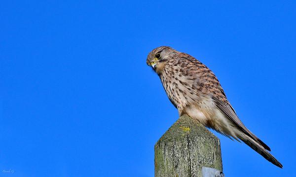 Common kestrel ; Faucon crécerelle ; Falco tinnunculus