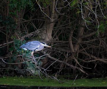 Grey Heron - Héron cendré - Ardea cinerea
