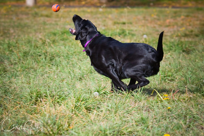 Maggie doing what she loves at the dog park