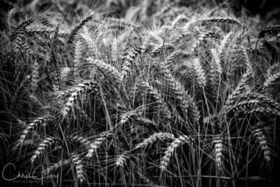 Monochrome: Summer Wheat  EXHIBITED: 2009 Oregon State Fair