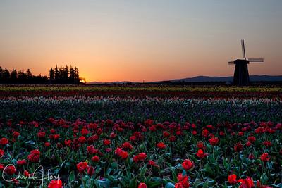Tulip Sunrise  EXHIBITED: 2011 Oregon State Fair